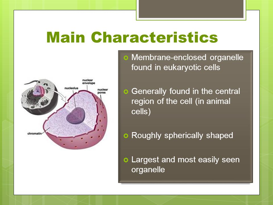 Main Characteristics Membrane-enclosed organelle found in eukaryotic cells. Generally found in the central region of the cell (in animal cells)