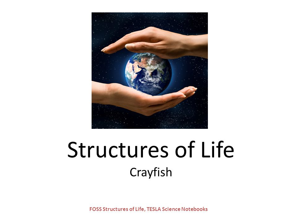 Structures of Life Crayfish
