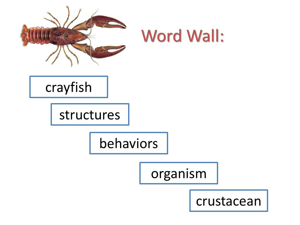 Word Wall: crayfish structures behaviors organism crustacean