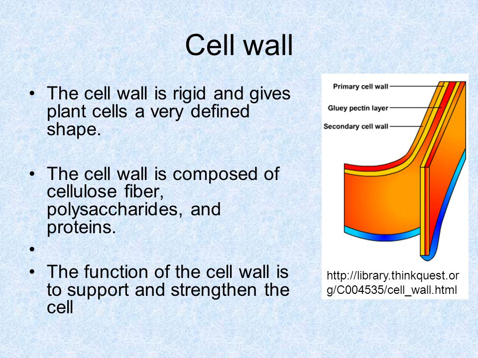 Cell wall http://library.thinkquest.org/C004535/cell_wall.html. The cell wall is rigid and gives plant cells a very defined shape.