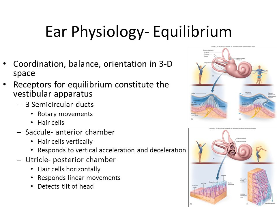 Ear Physiology- Equilibrium