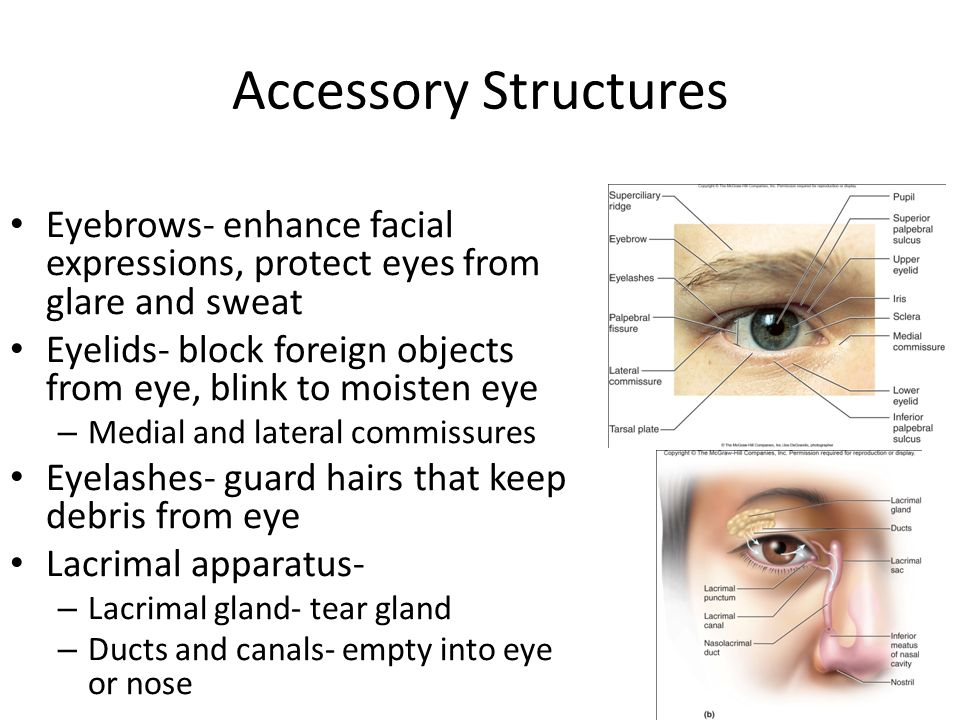 Accessory Structures Eyebrows- enhance facial expressions, protect eyes from glare and sweat.