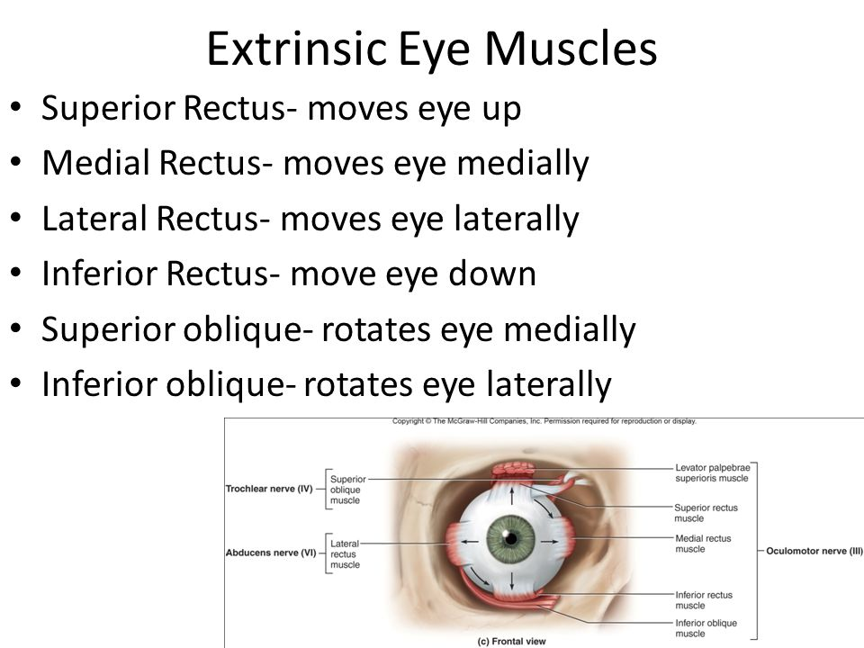 Extrinsic Eye Muscles Superior Rectus- moves eye up