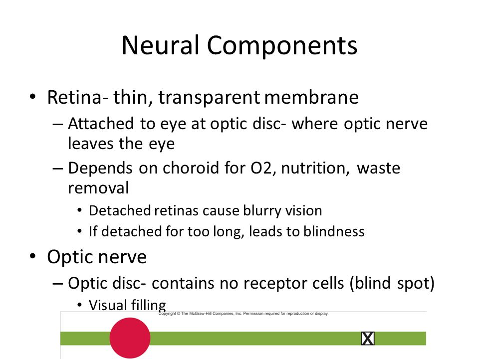 Neural Components Retina- thin, transparent membrane Optic nerve