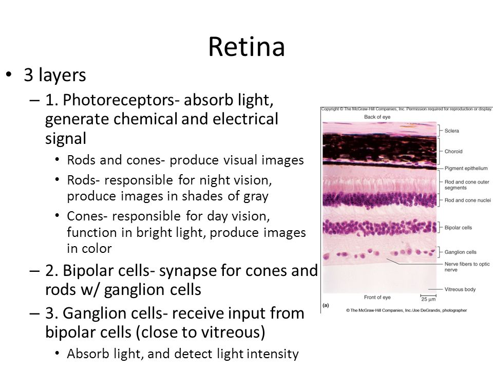 Retina 3 layers. 1. Photoreceptors- absorb light, generate chemical and electrical signal. Rods and cones- produce visual images.