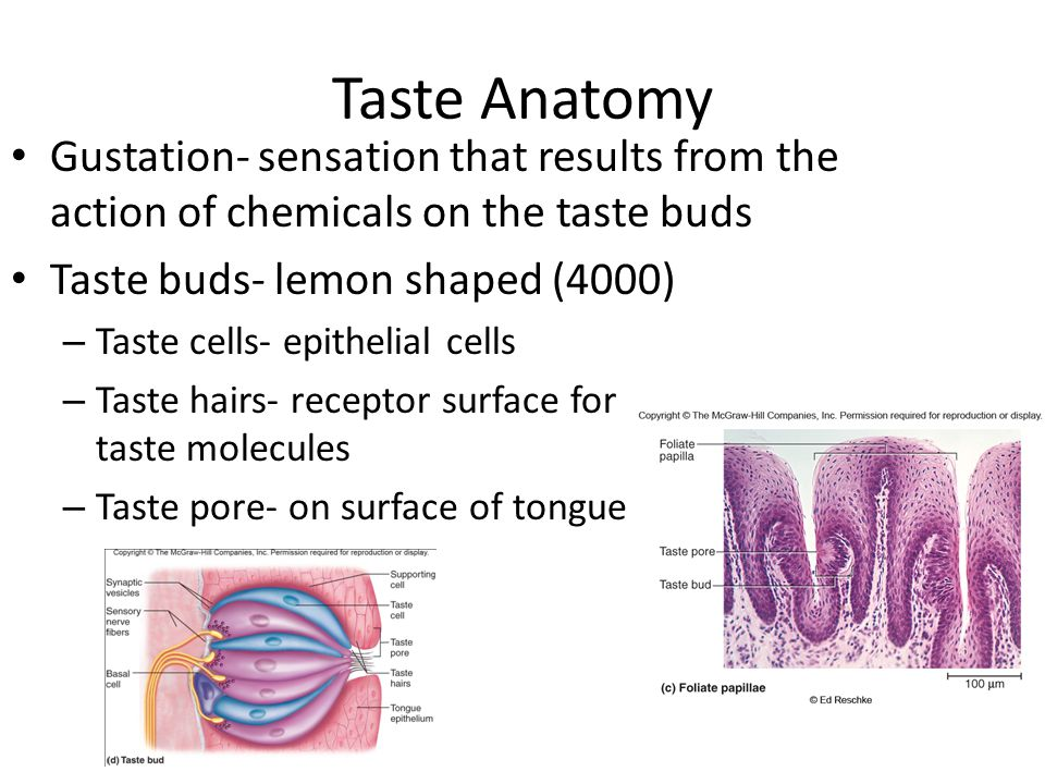 Taste Anatomy Gustation- sensation that results from the action of chemicals on the taste buds. Taste buds- lemon shaped (4000)