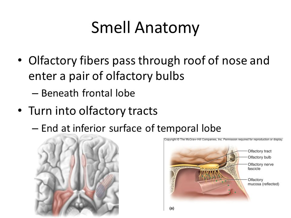 Smell Anatomy Olfactory fibers pass through roof of nose and enter a pair of olfactory bulbs. Beneath frontal lobe.