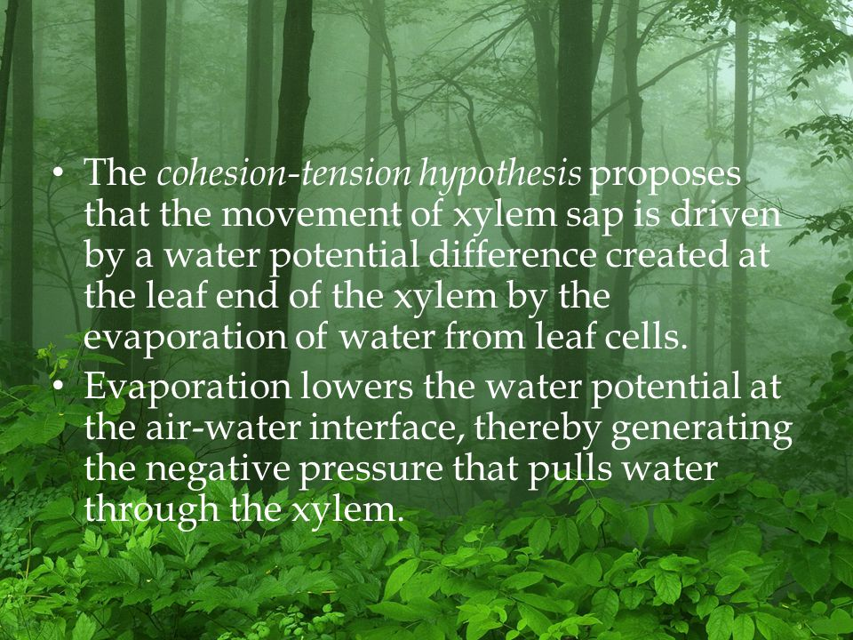 The cohesion-tension hypothesis proposes that the movement of xylem sap is driven by a water potential difference created at the leaf end of the xylem by the evaporation of water from leaf cells.