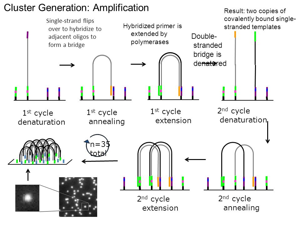 Cluster Generation: Amplification