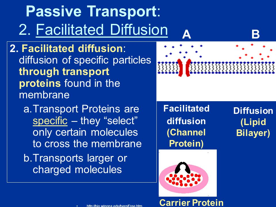 Facilitated diffusion (Channel Protein) Diffusion (Lipid Bilayer)