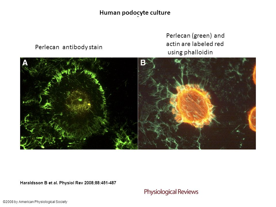 Human podocyte culture