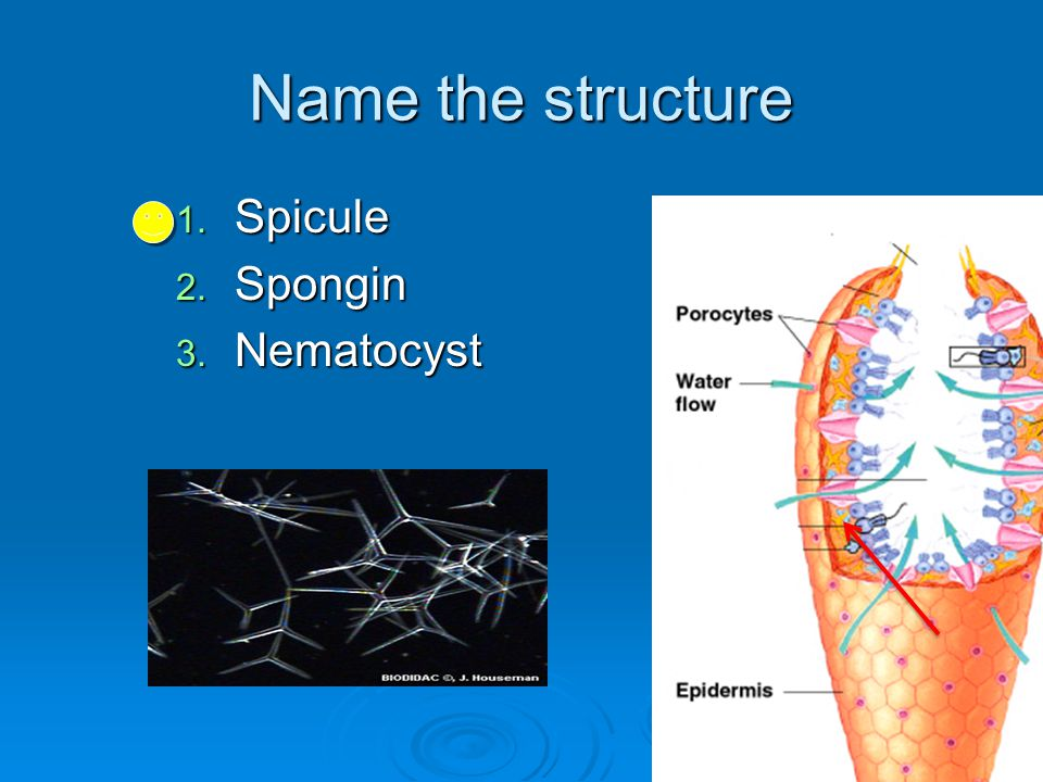 Name the structure Spicule Spongin Nematocyst