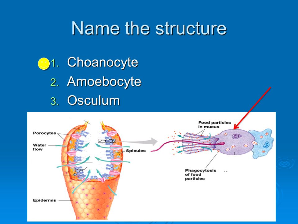 Name the structure Choanocyte Amoebocyte Osculum