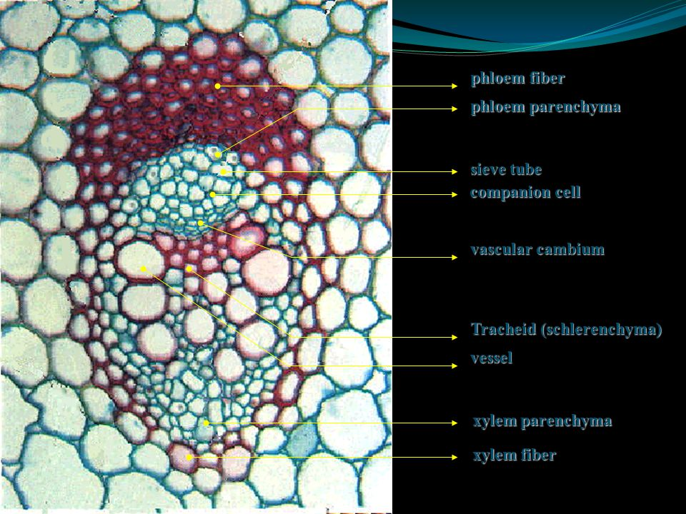 phloem fiber phloem parenchyma. sieve tube. companion cell. vascular cambium. vessel. Tracheid (schlerenchyma)