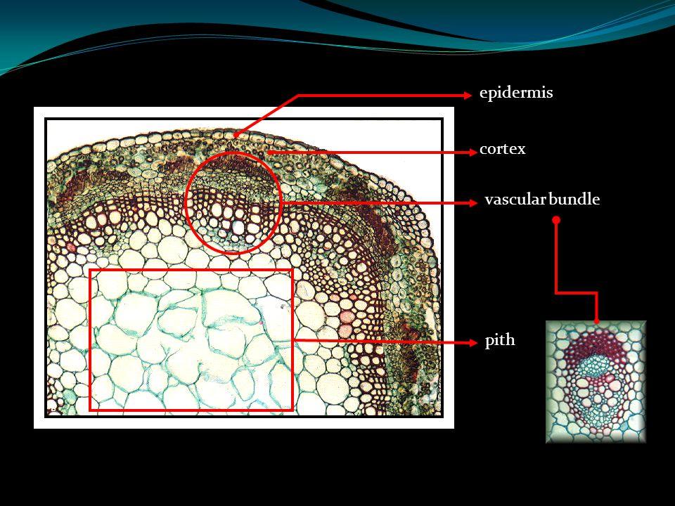 epidermis cortex vascular bundle pith