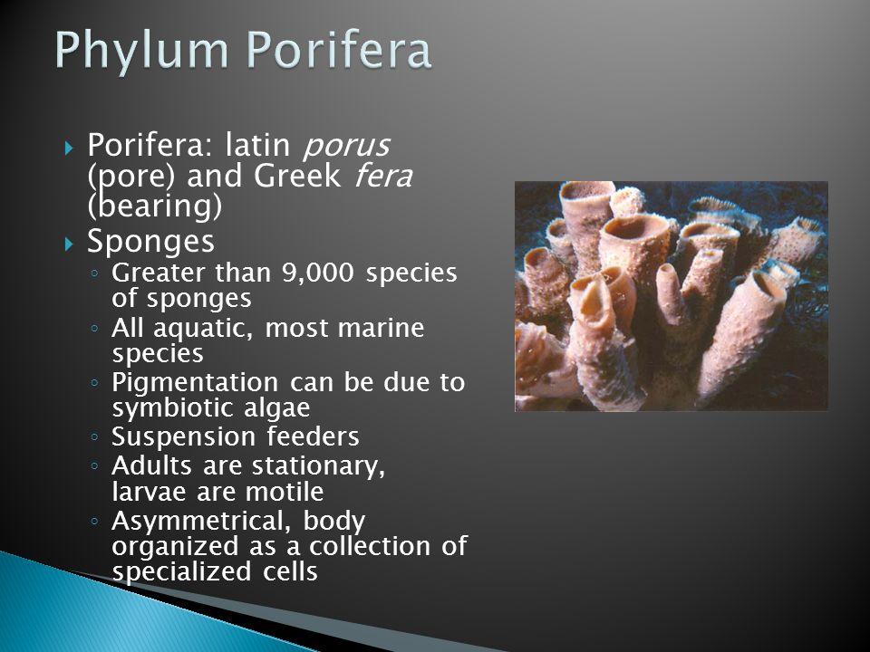 Phylum Porifera Porifera: latin porus (pore) and Greek fera (bearing)
