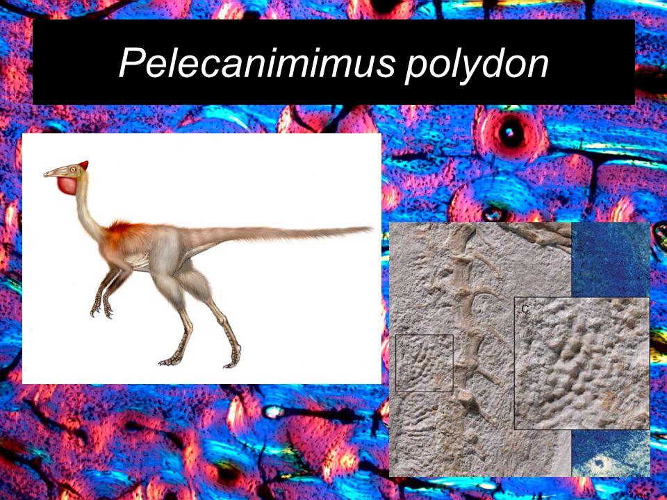 Pelecanimimus polydon