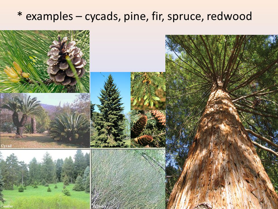 * examples – cycads, pine, fir, spruce, redwood