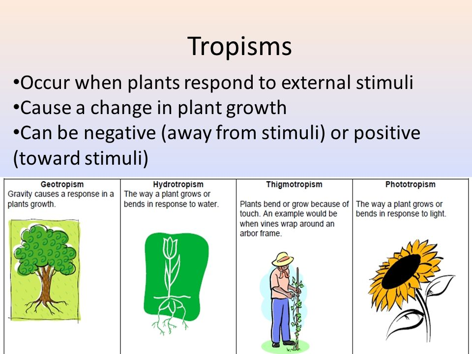 Tropisms Occur when plants respond to external stimuli