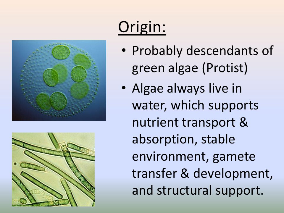 Origin: Probably descendants of green algae (Protist)