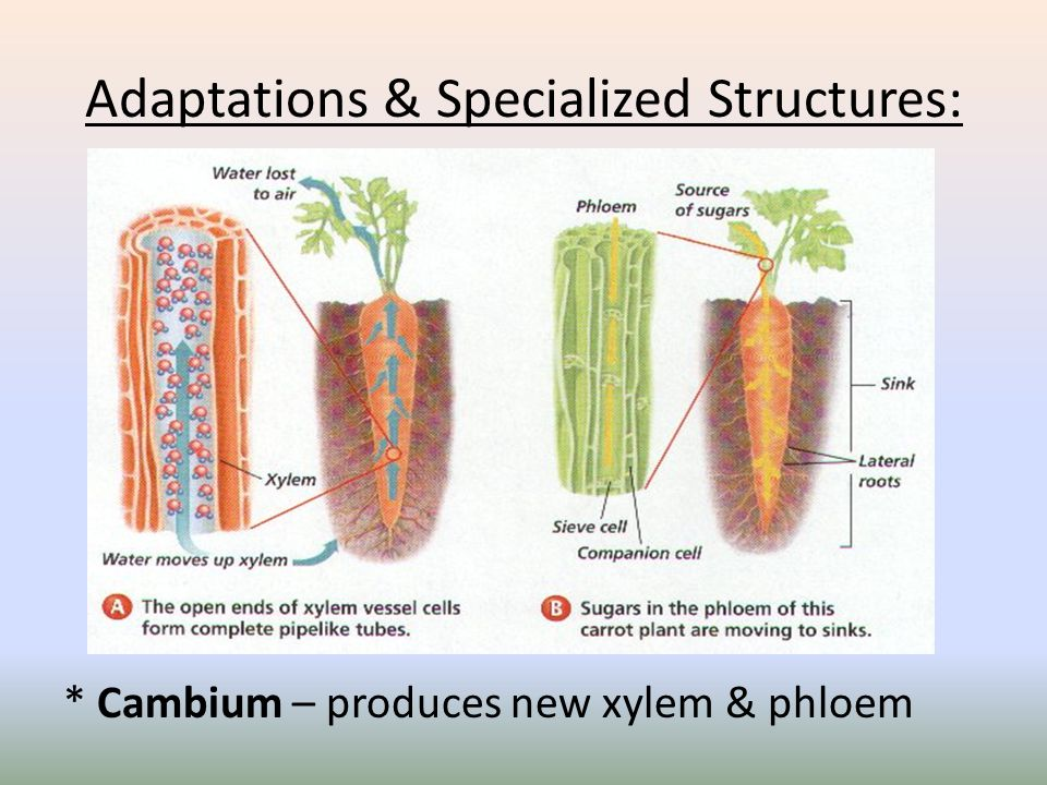 Adaptations & Specialized Structures: