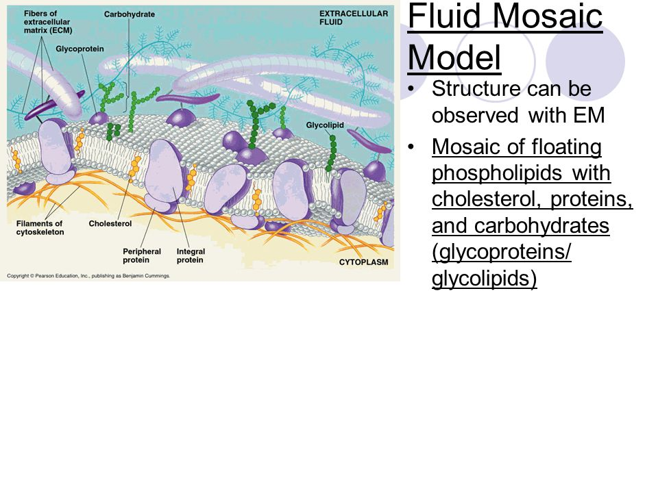 Fluid Mosaic Model Structure can be observed with EM