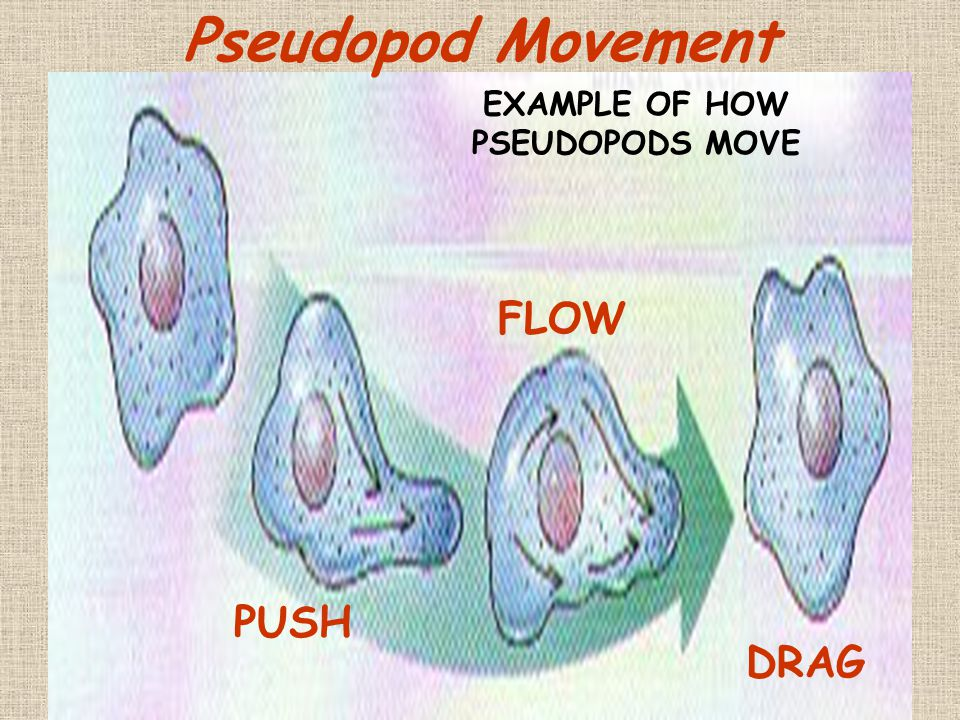 EXAMPLE OF HOW PSEUDOPODS MOVE