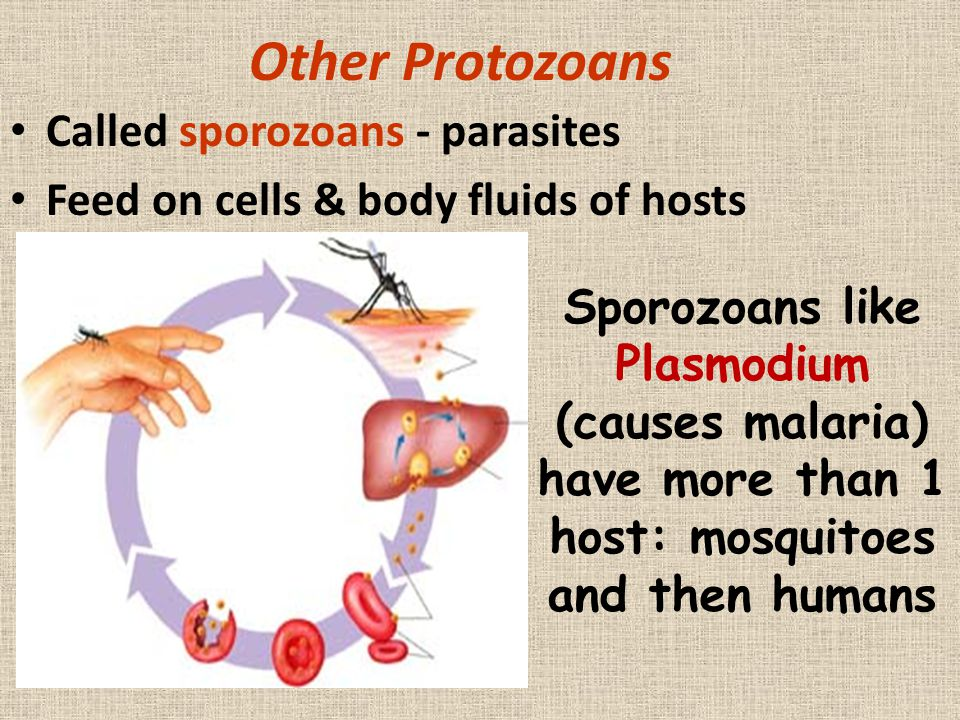 Other Protozoans Called sporozoans - parasites