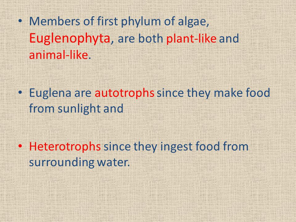 Members of first phylum of algae, Euglenophyta, are both plant-like and animal-like.