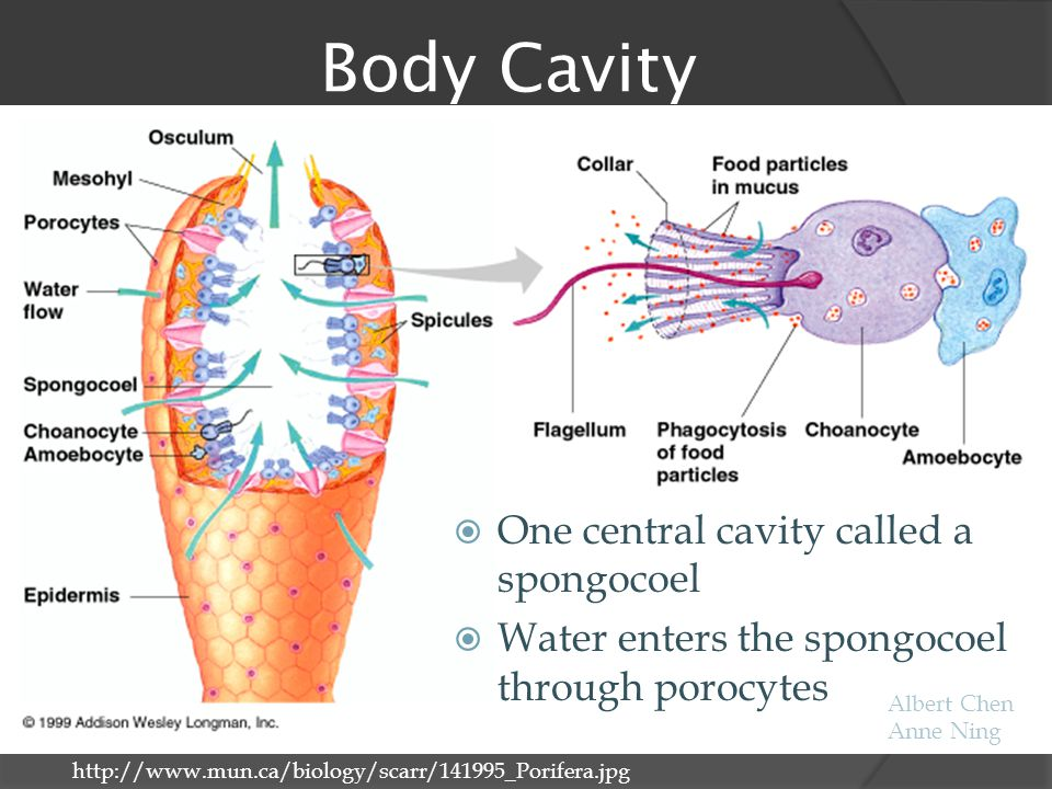 Body Cavity One central cavity called a spongocoel