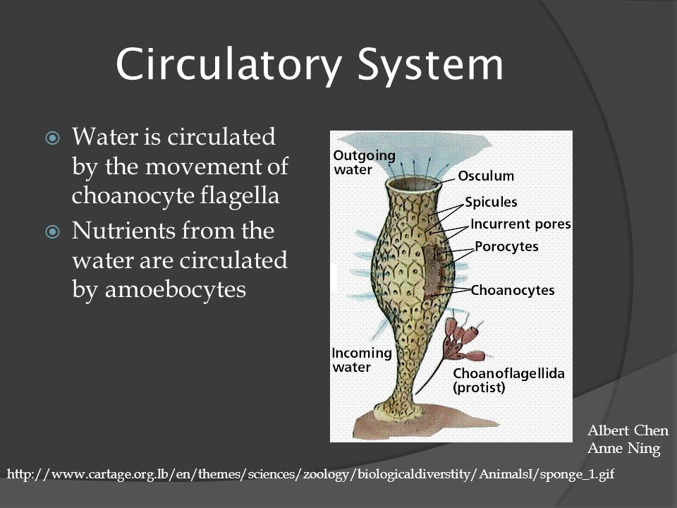 Circulatory System Water is circulated by the movement of choanocyte flagella. Nutrients from the water are circulated by amoebocytes.