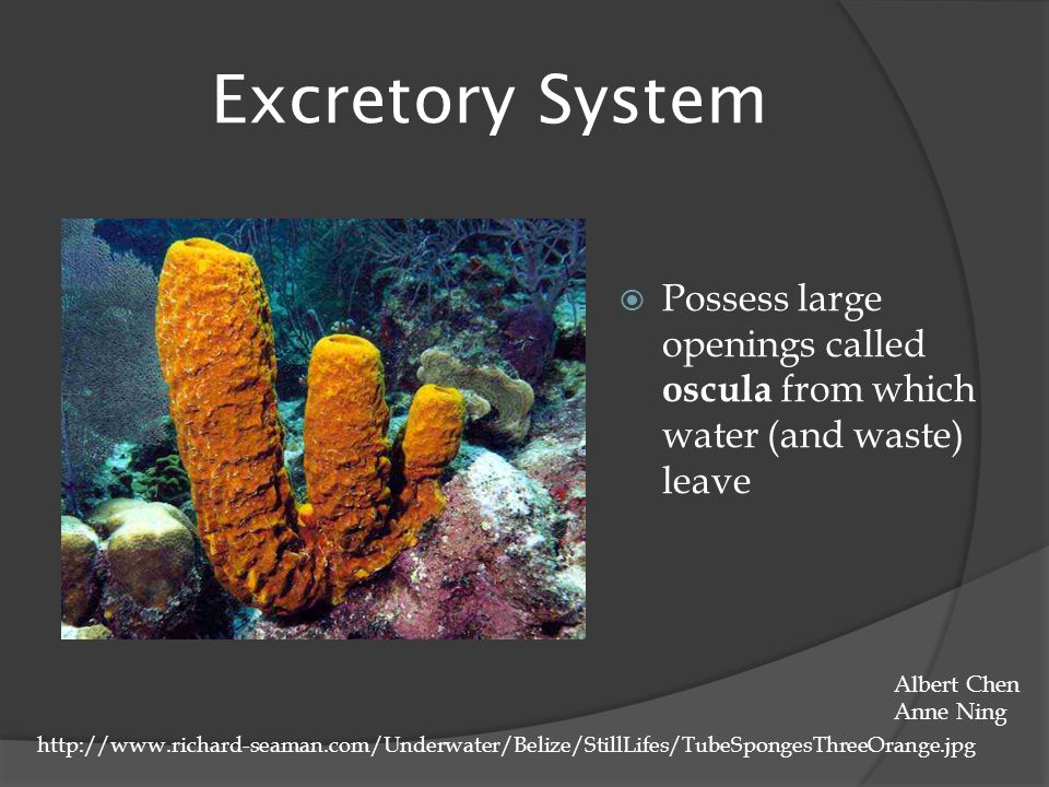 Excretory System Possess large openings called oscula from which water (and waste) leave. Albert Chen.