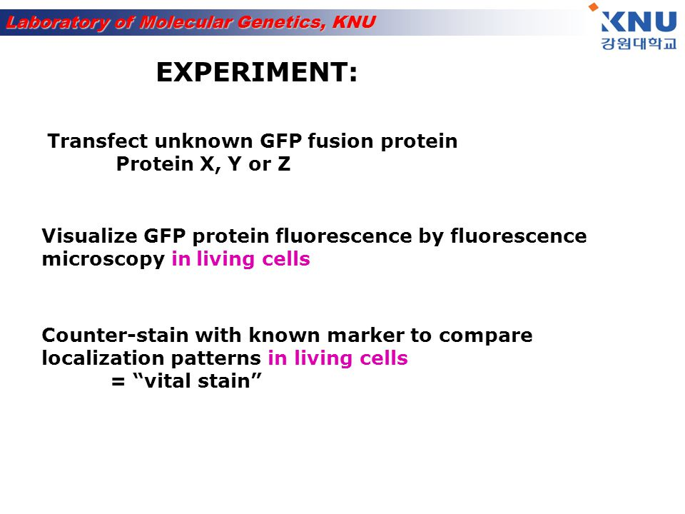 EXPERIMENT: Transfect unknown GFP fusion protein Protein X, Y or Z