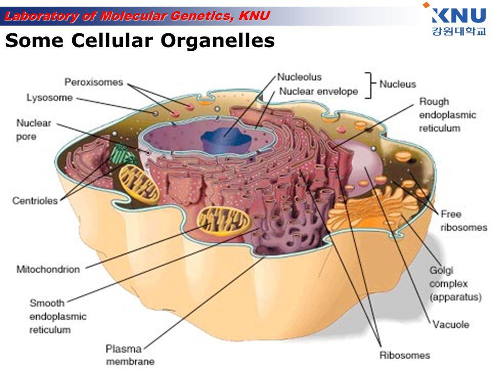 Some Cellular Organelles