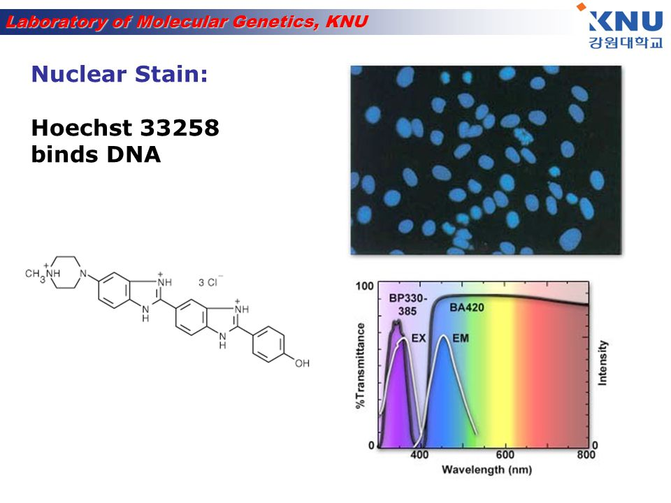 Nuclear Stain: Hoechst 33258 binds DNA