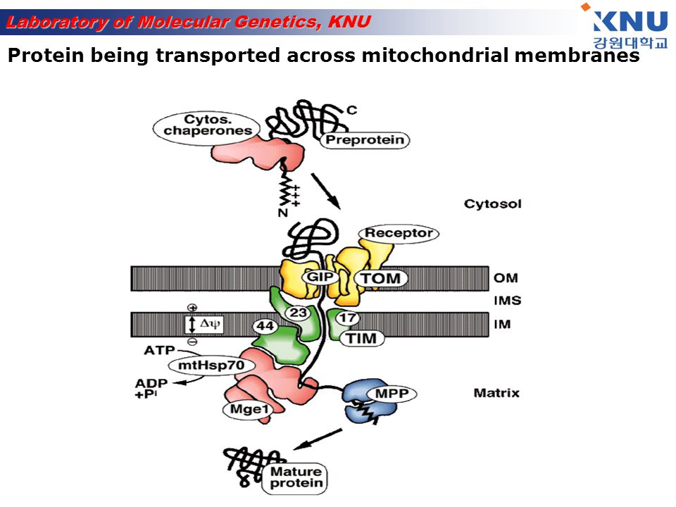 Protein being transported across mitochondrial membranes