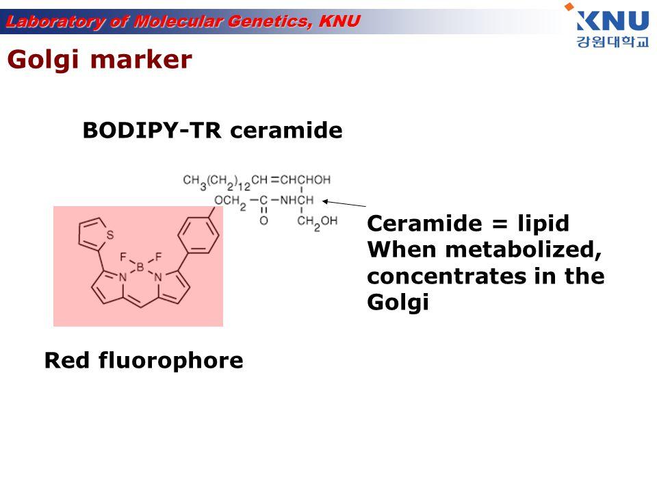 Golgi marker BODIPY-TR ceramide Ceramide = lipid