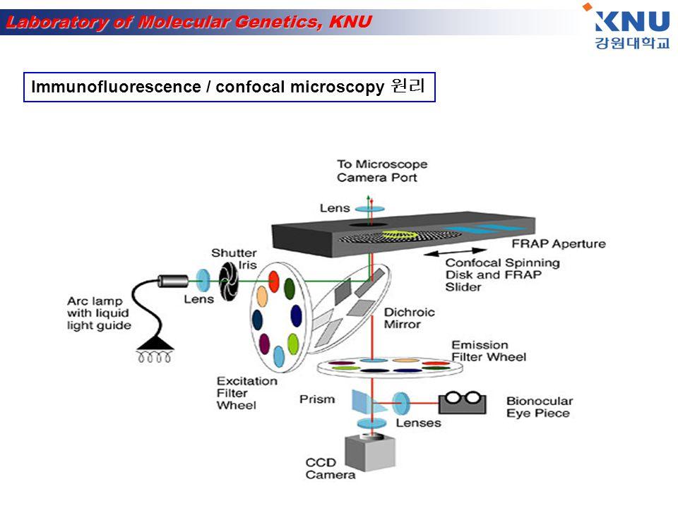 Immunofluorescence / confocal microscopy 원리