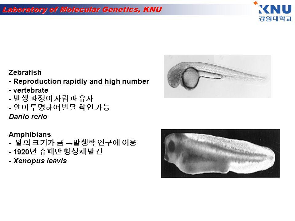Zebrafish - Reproduction rapidly and high number. - vertebrate. - 발생 과정이 사람과 유사. - 알이 투명하여 발달 확인 가능.
