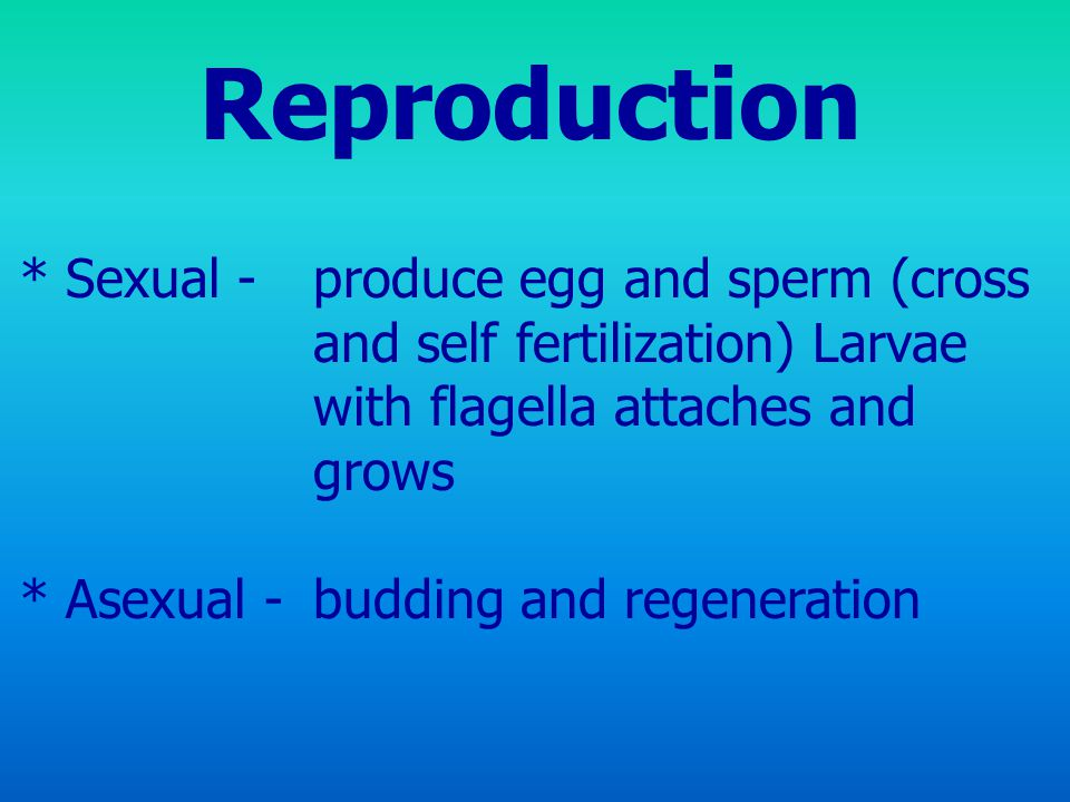 Reproduction * Sexual - produce egg and sperm (cross and self fertilization) Larvae with flagella attaches and grows.