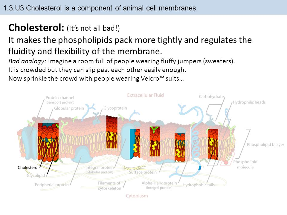 1.3.U3 Cholesterol is a component of animal cell membranes.