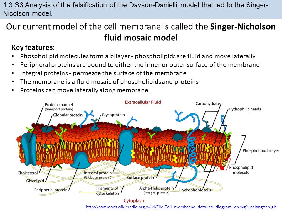 1.3.S3 Analysis of the falsification of the Davson-Danielli model that led to the Singer-Nicolson model.