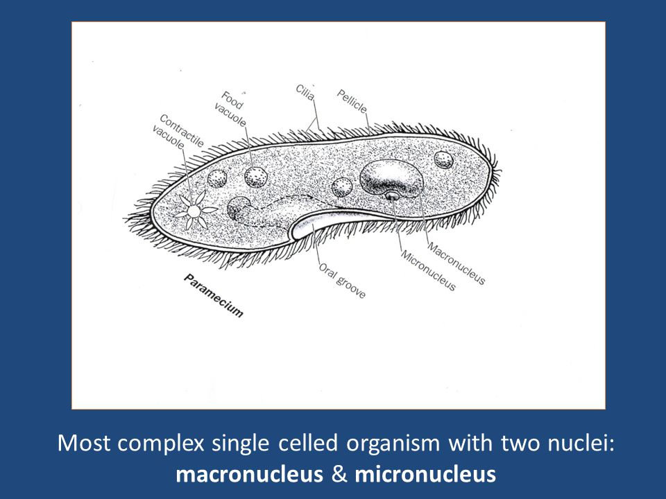 Most complex single celled organism with two nuclei: macronucleus & micronucleus