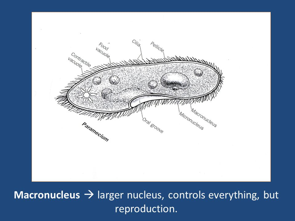 Macronucleus  larger nucleus, controls everything, but reproduction.