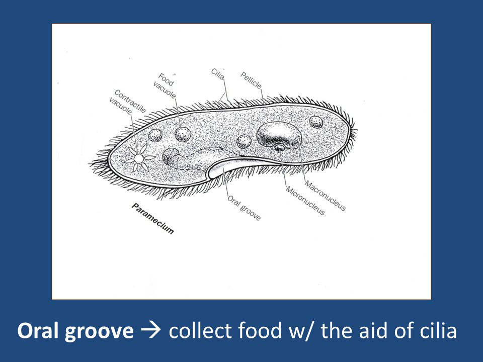 Oral groove  collect food w/ the aid of cilia