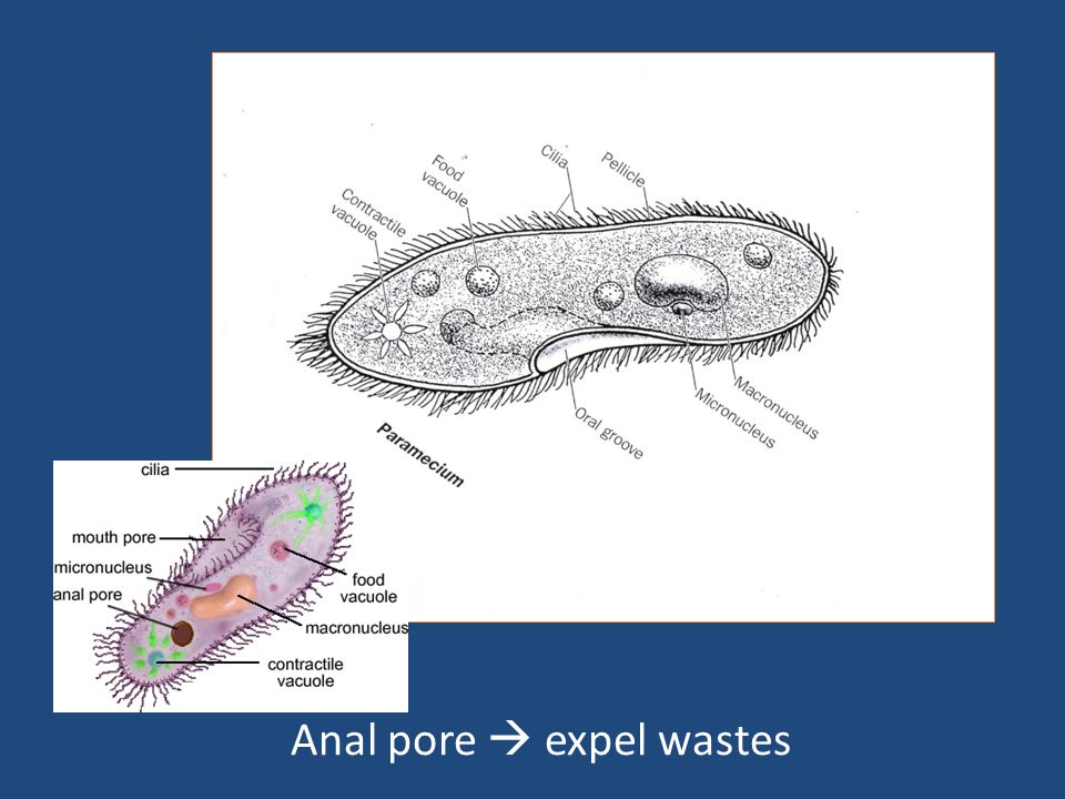 Anal pore  expel wastes