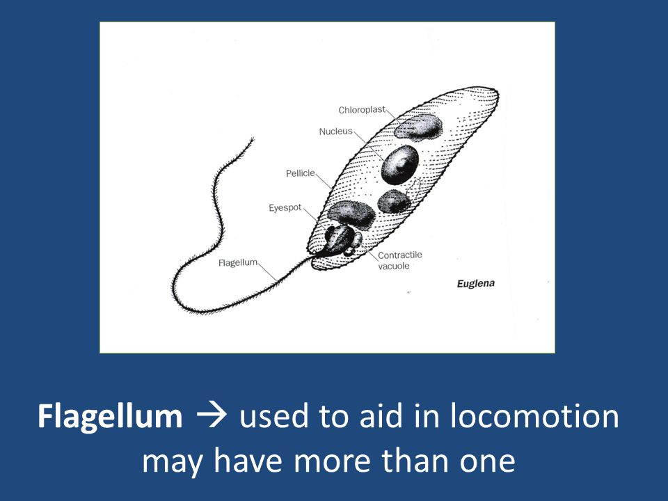Flagellum  used to aid in locomotion may have more than one