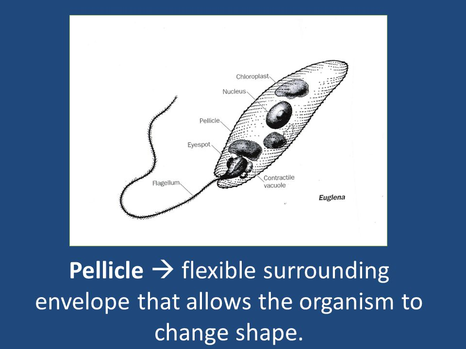 Pellicle  flexible surrounding envelope that allows the organism to change shape.