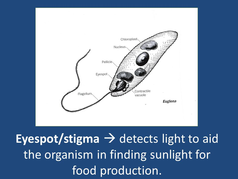 Eyespot/stigma  detects light to aid the organism in finding sunlight for food production.