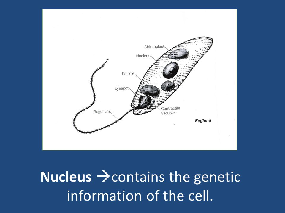 Nucleus contains the genetic information of the cell.